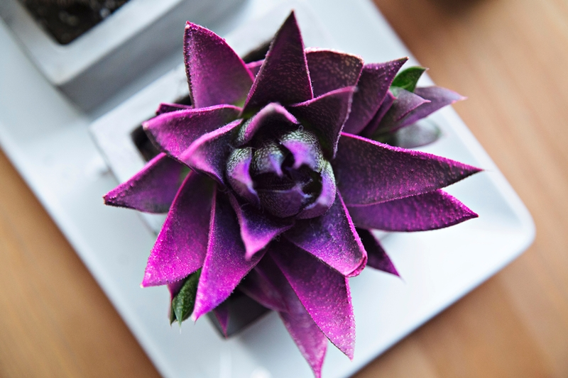 Purple succulent for Currently: March