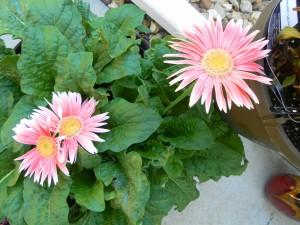 Coral pink Gerber daisies.